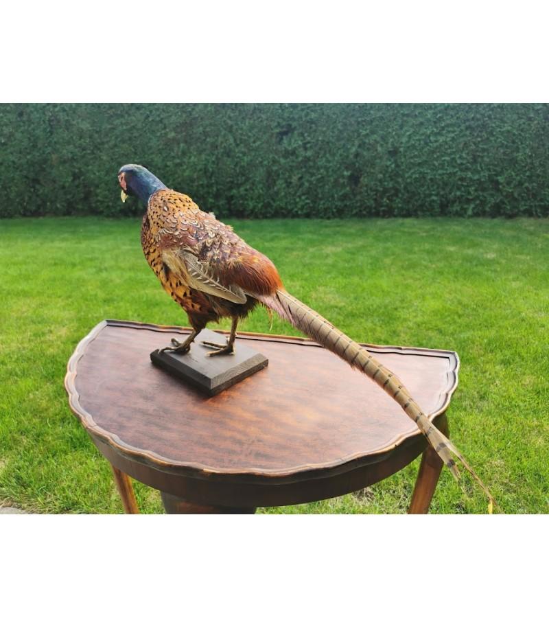 Iškamša paukščio fazano antikvarinė. Kaina 187