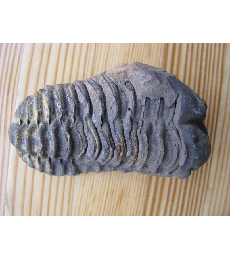 Fosilija Trilobitas. Kaina po 26 Eur.